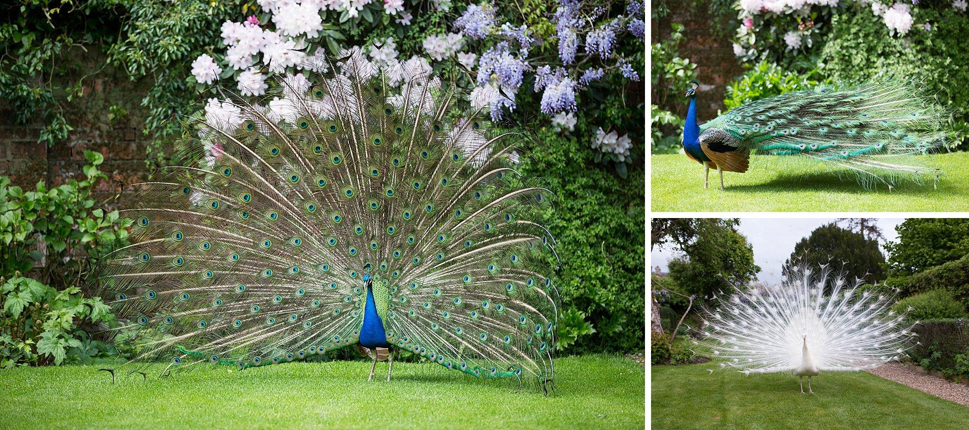 Peacocks at Northbrook Park